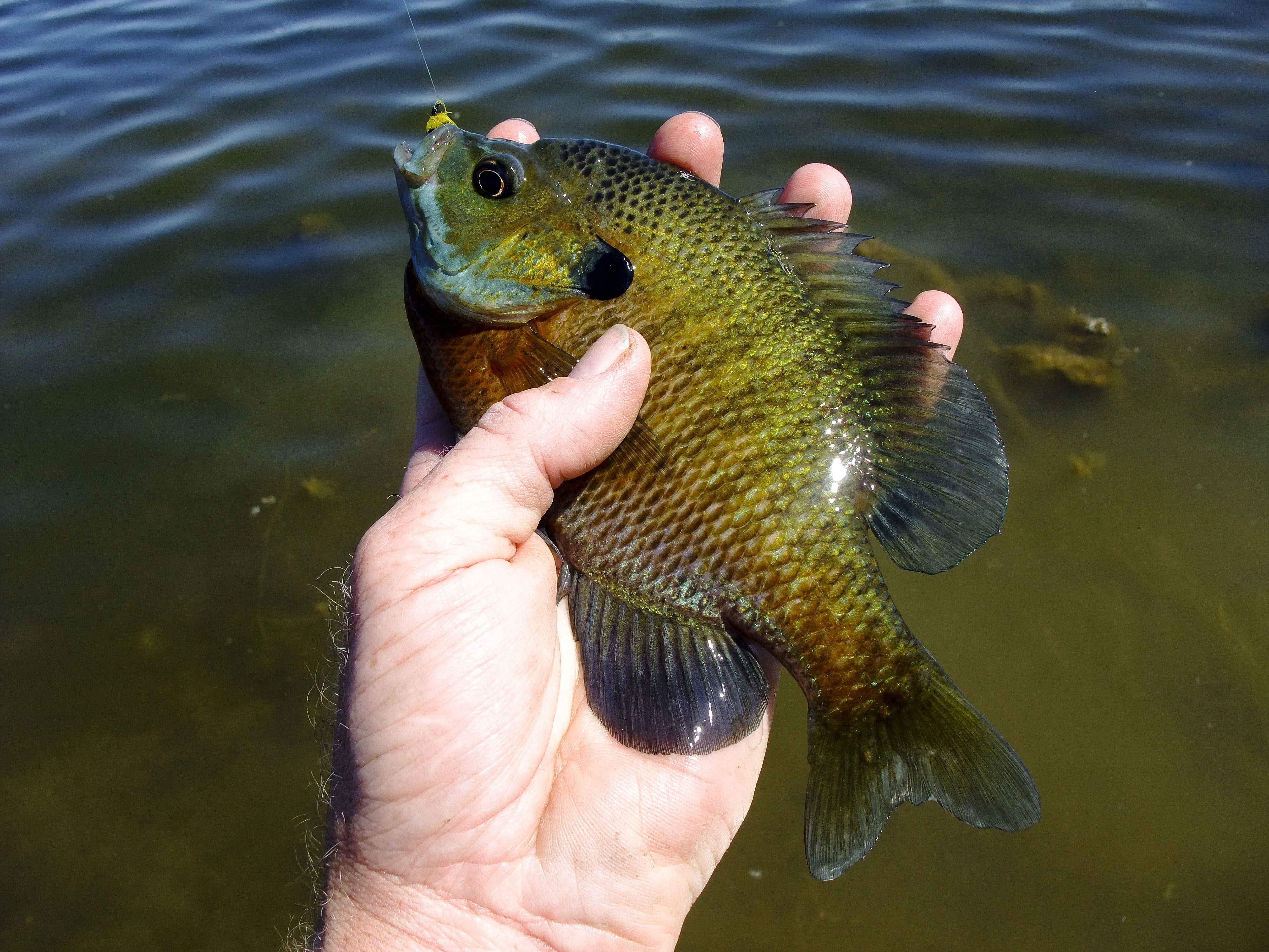 Bluegill on the fly nebraskaland magazine 39 s afield and for Fly fishing for bluegill